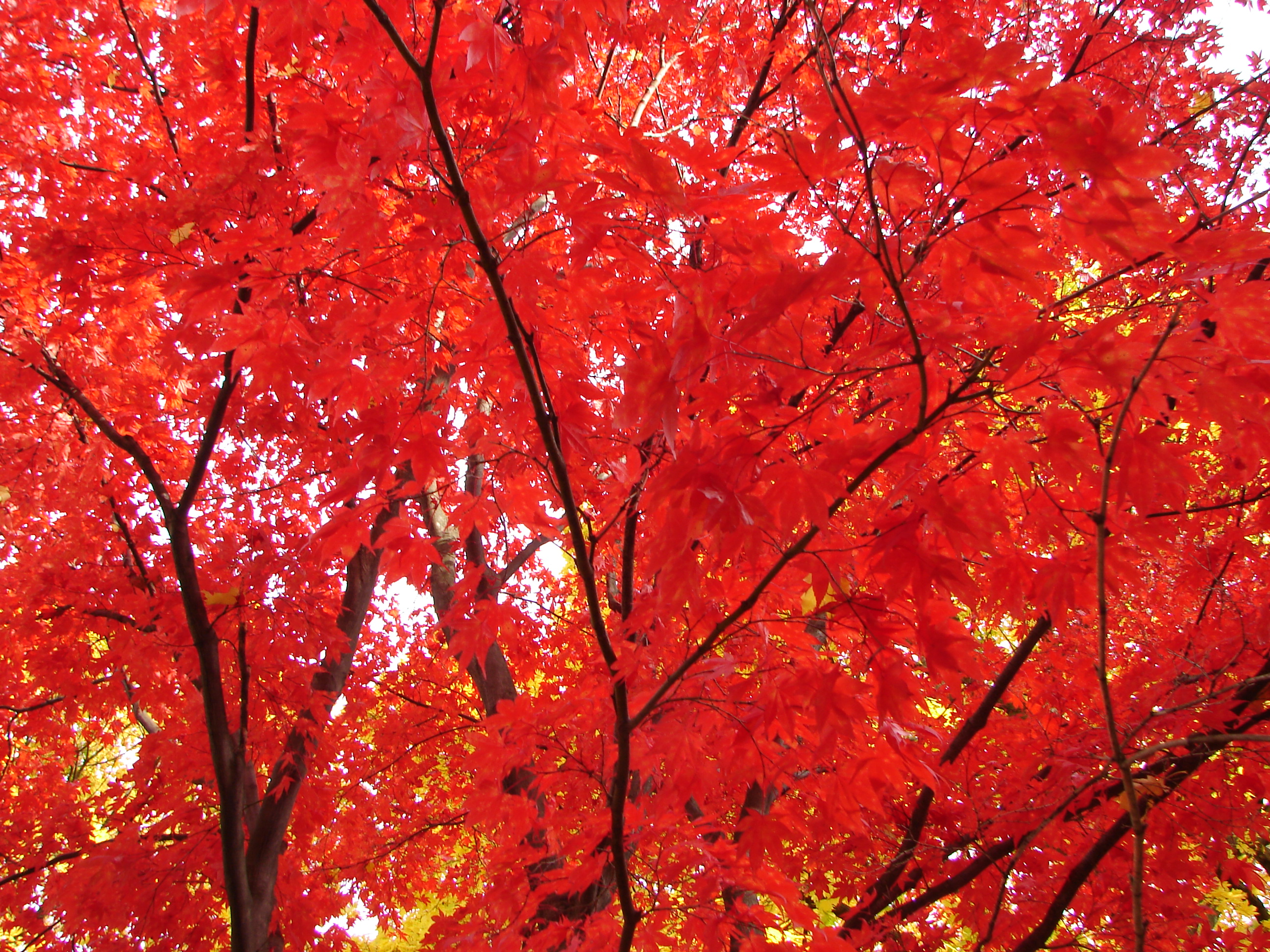 Vibrancy: Red Maple in the Fall