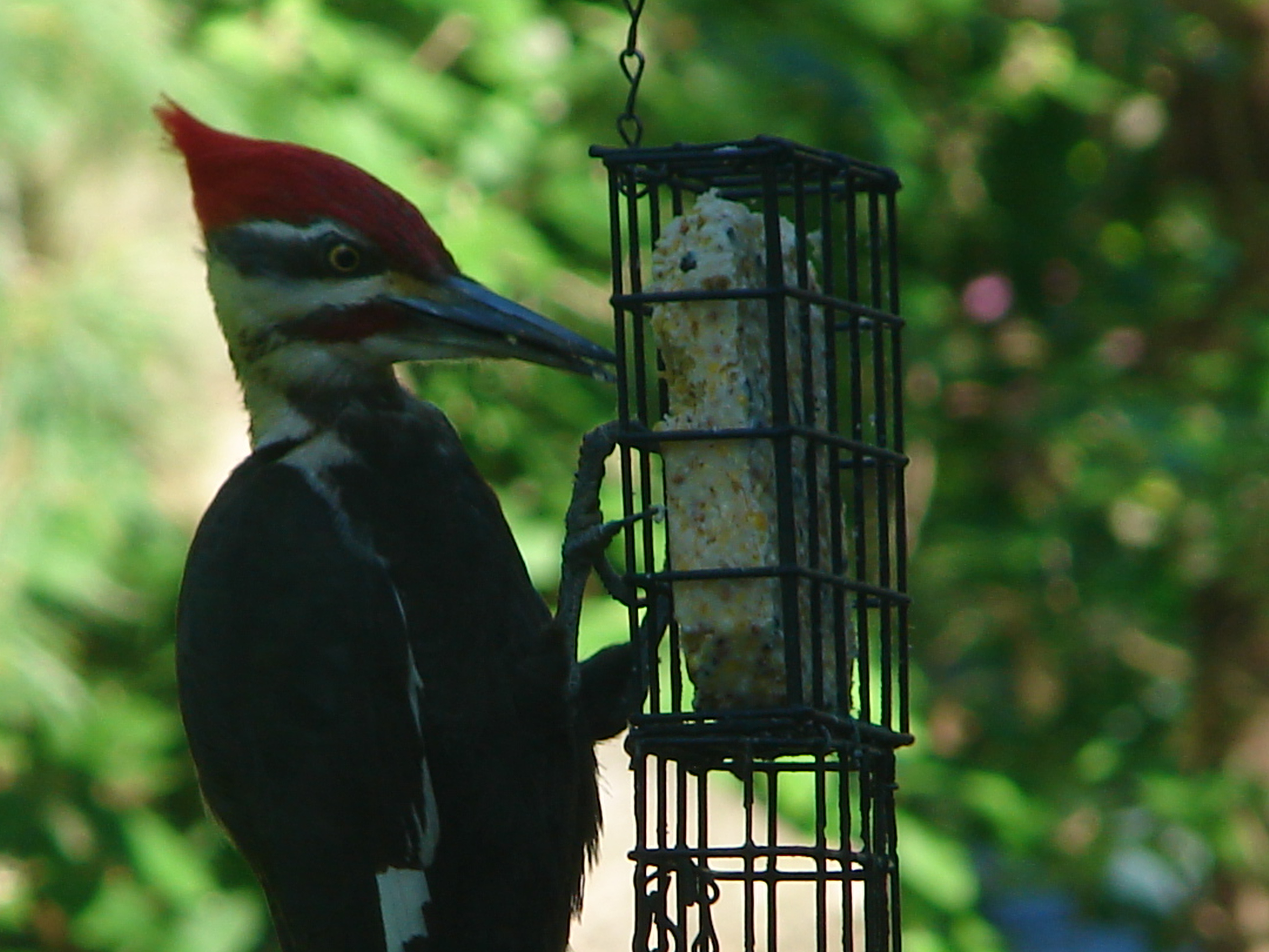 Determination: Pileated Woodpecker at the Feeder