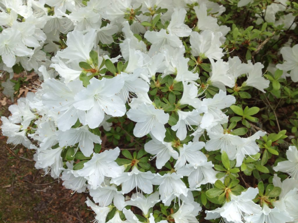 Purity: A Cleansed Palette. (White azalea)